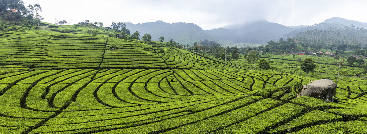 Tea plantation tours are a big part of a holiday in Bandung